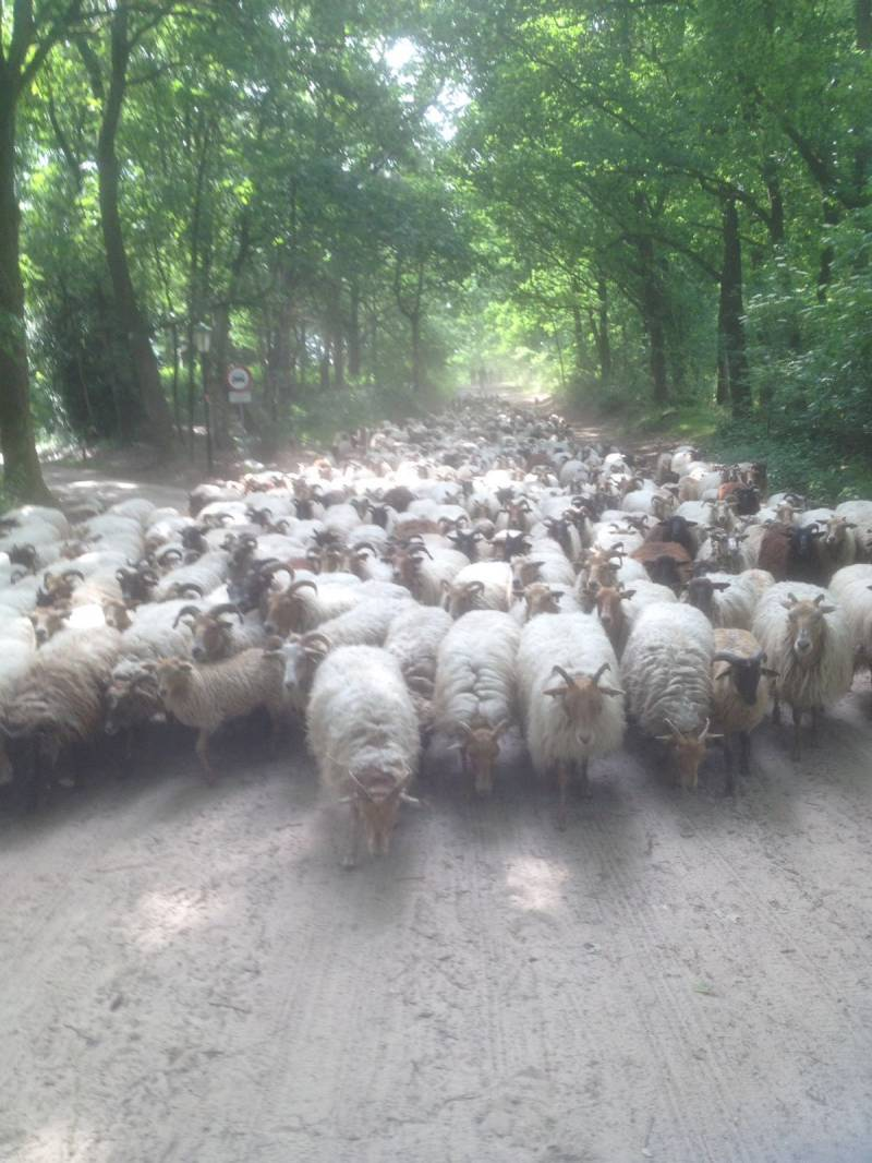 To collect the sheep