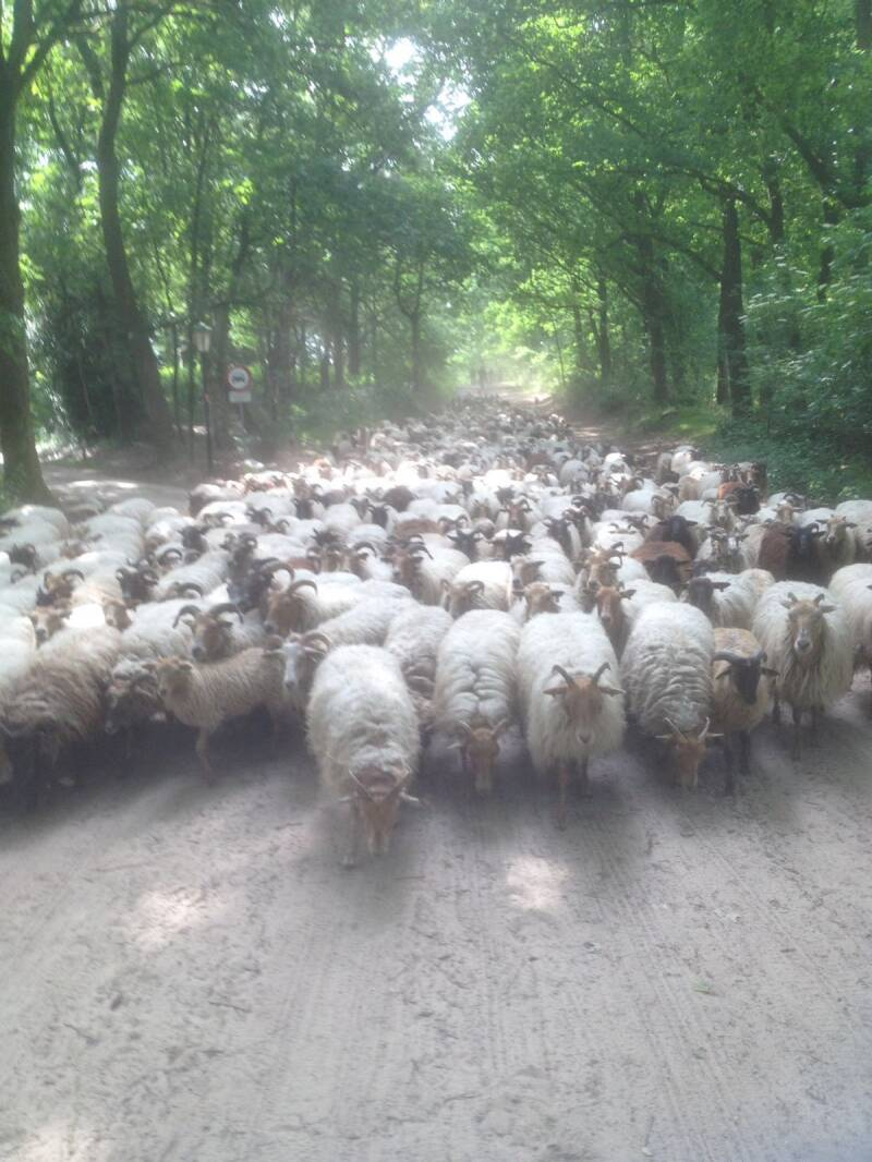 To walk with a flok of sheep with your dog