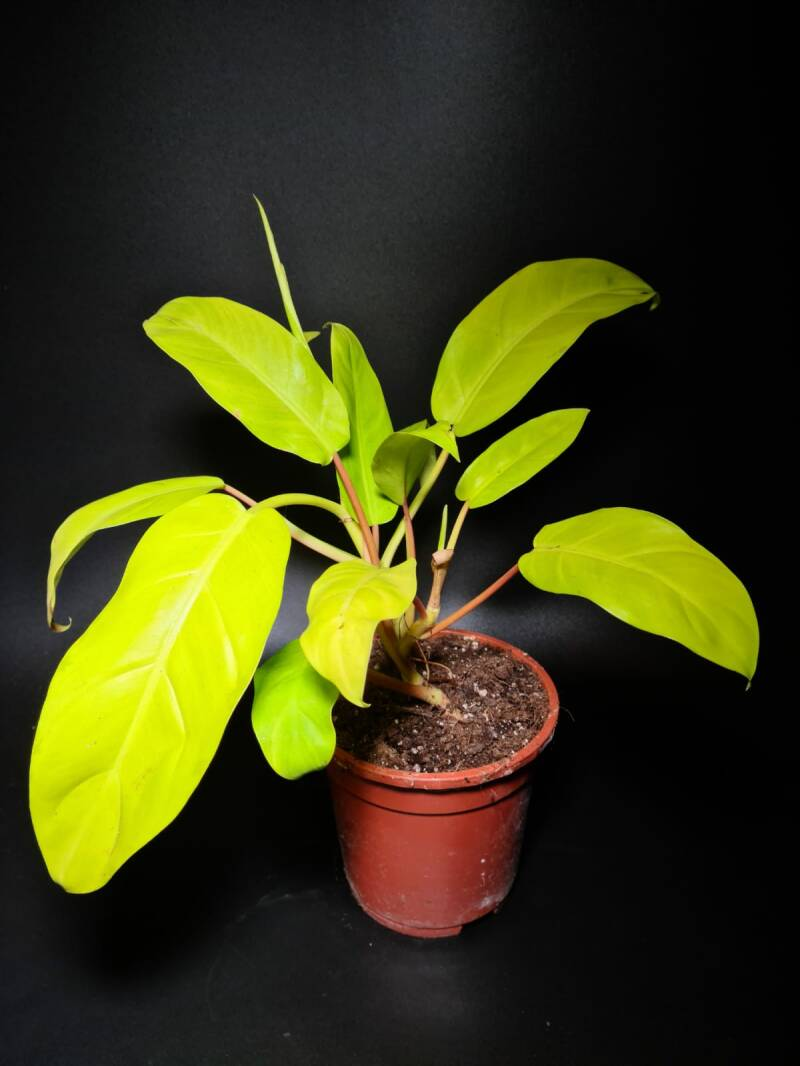 Philodendron 'Malay gold' - 40cm