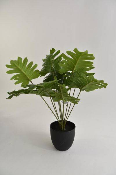 Alocasia sunshine in pot green