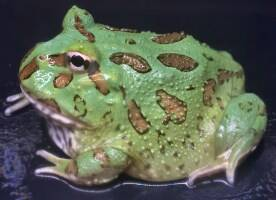 Ceratophrys cranwelli - Peppermint