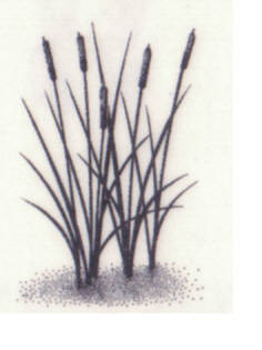 016B Cattails sm