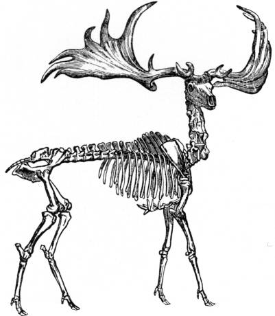 FAS N3301 Moose skeleton