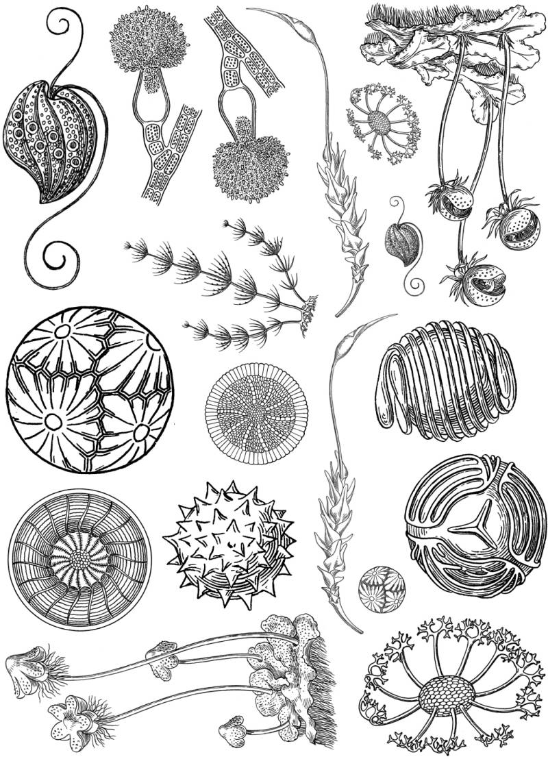 PLATESW089 Plate 089 Microscopic artforms plants 1