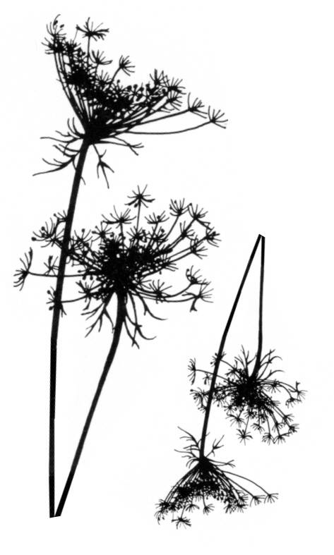 NS Q10603 Queen Anne's lace (2x)