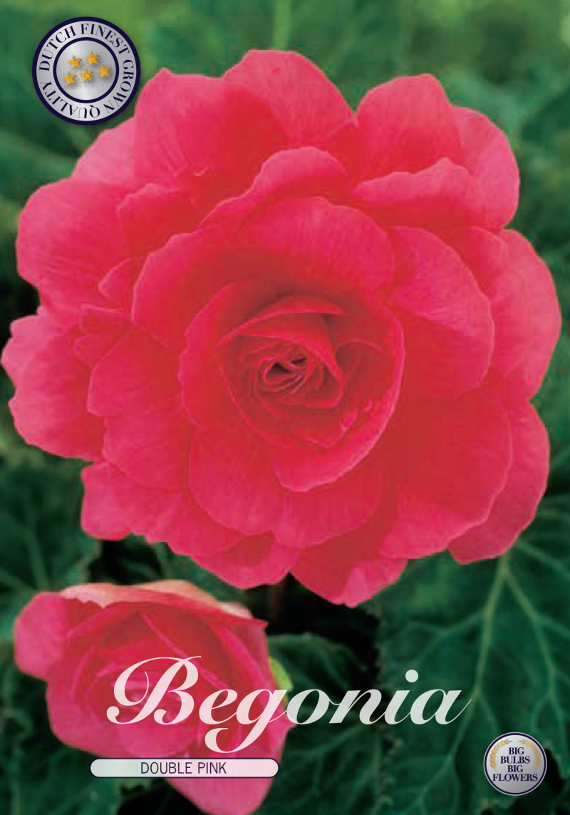 Begonia | Double Pink
