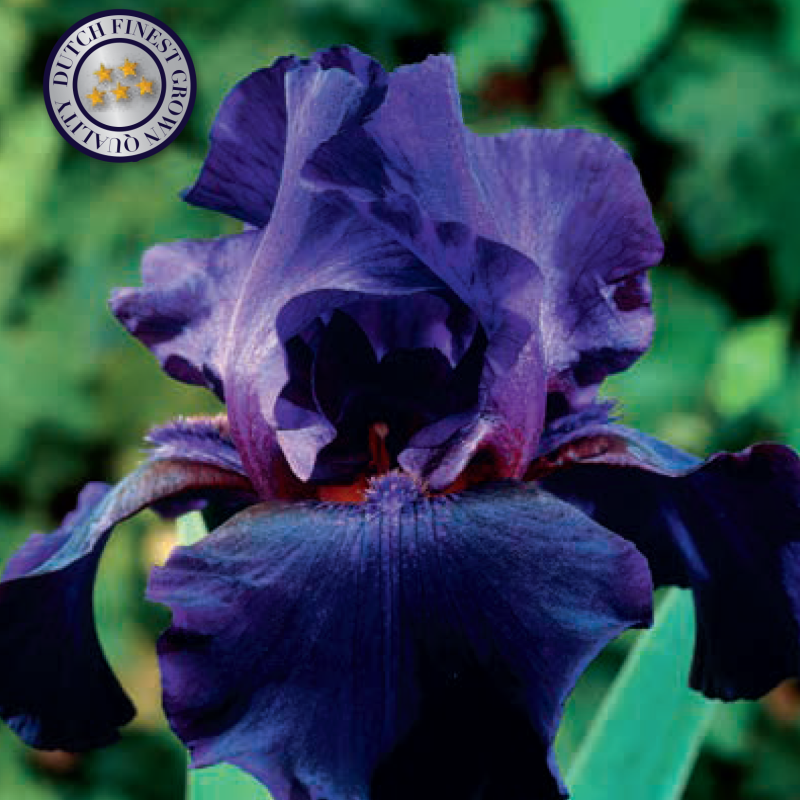 Iris Germanica | Black Dragon