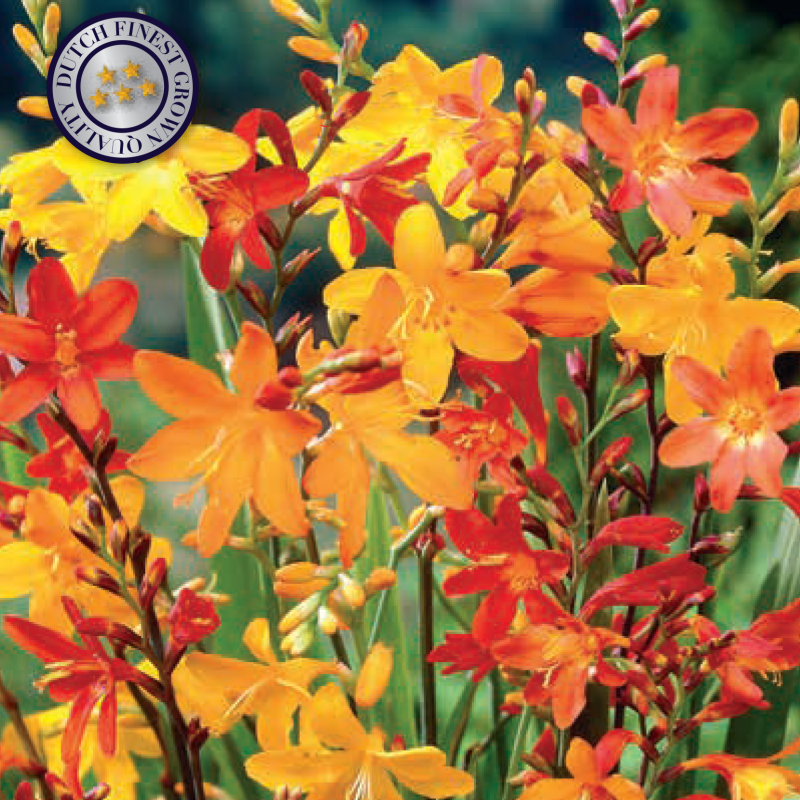 10 x Crocosmia | Mix