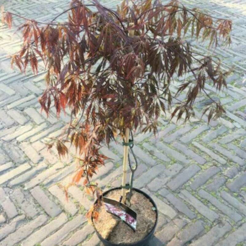 Acer | rood