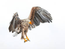 White-tailed-Eagle26x36cm10x14inch-2.jpg