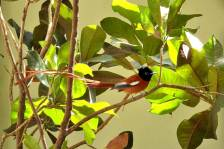Black-headedParadise-Flycatcher_0157.jpg