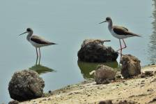 Black-wingedStilt_0744.jpg