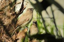 CommonBulbul_0116.jpg