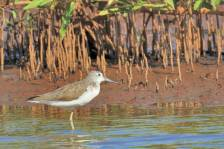CommonSandpiper_089.jpg