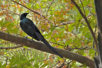 Longtailed glossy starling_080.jpg