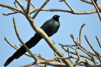 Longtailed glossy starling_100.jpg
