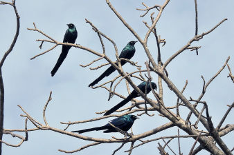 Longtailed glossy starling_101.jpg