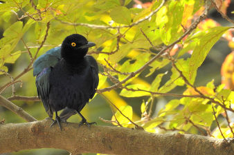 Longtailed glossy starling_110.jpg