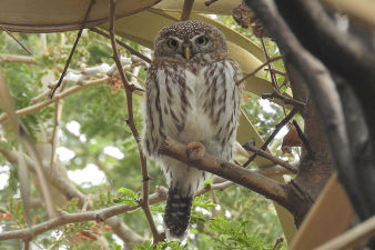 Pearl-spotted owle_252.jpg