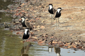 Spur-winged Lapwing_349.jpg