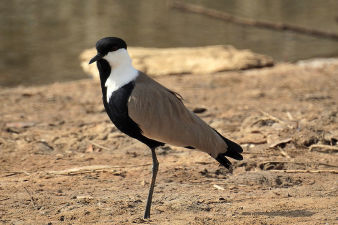 Spur-winged Lapwing_350.jpg