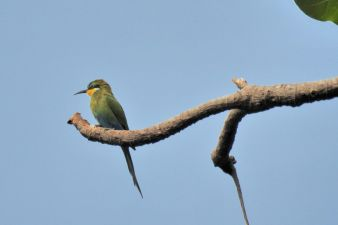 Swallow-tailed Bee-eater_AbukoForest_1210-1.jpg