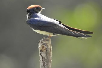 Wire-tailed Swallow_0239-1.jpg