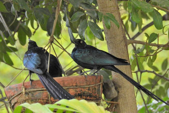 longtailed glossy starling_036.jpg