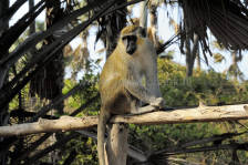 monkeys_gambia_411.jpg