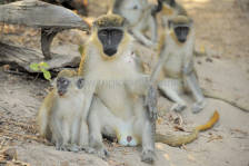 monkeys_gambia_412.jpg