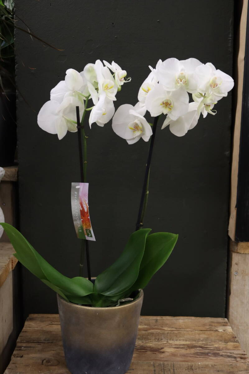 Witte of paarse Orchideeen