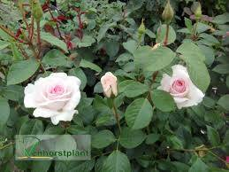 rosa 'A Whinter Shade of Pale' (Stamroos)